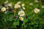 Обои Полевые ромашки и полевые цветы на размытом фоне, by Mabel Amber