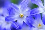 Обои Голубые цветы снежная слава крупным планом, by Mabel Amber