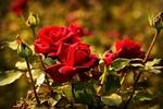 Обои Красные розы с бутонами на размытом фоне, by Mabel Amber