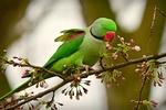 Обои Зеленый попугай на цветущей ветке яблони, by Mabel Amber