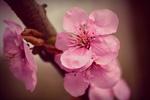 Обои Цветы вишни крупным планом на ветке, by Mabel Amber