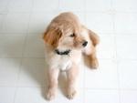 Обои Светло коричневый щенок сидит на полу, by StockSnap