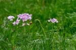 Обои Розовые луговые цветы, by Ingrid