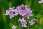Обои Розовые полевые цветы на размытом фоне, by Ingrid