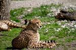 Обои Гепард лежит на земле на размытом фоне, by Ingrid