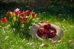 Обои Яблоки в шляпе букет красных и желтых тюльпанов на траве, by Ingrid