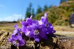 Обои Цветы сиреневой хепатики лежат на земле на размытом фоне, by Ingrid
