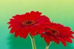 Обои Красные герберы на размытом фоне, by Ingrid