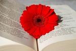 Обои Красная гербера в книге, by Ingrid
