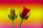 Обои Белый и красный тюльпаны на радужном фоне, by Ingrid