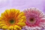 Обои Желтая и розовая герберы, by Ingrid