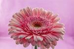 Обои Розовая гербера на розовом фоне, by Ingrid