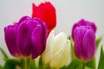 Обои Розовые, белый и красный тюльпаны на размытом фоне, by Ingrid