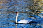 Обои Белый лебедь в воде, by Ingrid