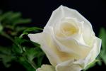Обои Белая роза на темном фоне, by Ingrid