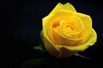 Обои Желтая роза на темном фоне, by Ingrid