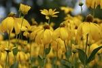 Обои Цветы желтой рудбекии, by Annette Meyer