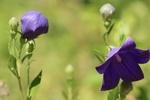 Обои Цветы колокольчика на размытом фоне, by Annette Meyer