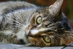 Обои Серая кошка с зелеными глазами крупным планом, by Annette Meyer
