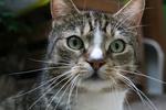 Обои Серая кошка с белыми пятнами с зелеными глазами крупным планом, by Annette Meyer