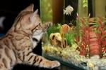 Обои Бенгальский котенок наблюдает за аквариумом с рыбками, by Irina_kukuts