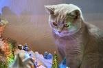 Обои Серая кошка на фоне елки и елочных игрушек, by Markus Distelrath
