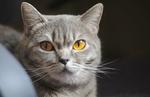 Обои Серый кот с желтыми глазами, by Ed Leszczynskl