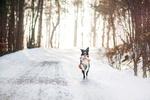 Обои Собака бежит по заснеженной дороге на задних лапах на фоне деревьев, by Lepale