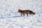 Обои Лиса бежит по снегу, by Yvonne Huijbens
