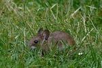 Обои Мышь сидит в траве, by Christiane