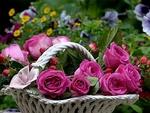Обои Розовые розы с капельками воды в корзинке на размытом фоне, by Christiane