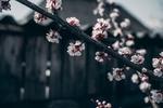 Обои Цветущая весенняя ветка вишни, by Elijah ODonnell