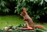 Обои Белка стоит на столе у тарелки с яблоком еловыми ветками и шишкой на размытом фоне, by Christiane