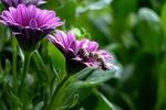 Обои Пчелы сидят на цветках фиолетовых маргариток на размытом фоне, by Christiane