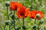 Обои Цветы мака с бутонами на размытом фоне, by Christiane