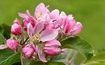 Обои Розовые цветы плодового дерева на размытом фоне, by Christiane