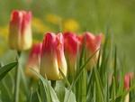 Обои Розово-желтые тюльпаны на размытом фоне, by Christiane