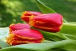 Обои Красные с желтой каемкой тюльпаны на размытом фоне, by Christiane