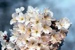 Обои Ветки цветущей вишни на размытом фоне, by Christiane
