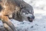 Обои Злой волк на снегу, by Tiomax80