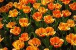Обои Оранжевые тюльпаны с листьями, by Sabrina B