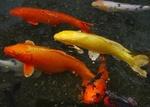 Обои Рыбы кои в воде, by auntmasako