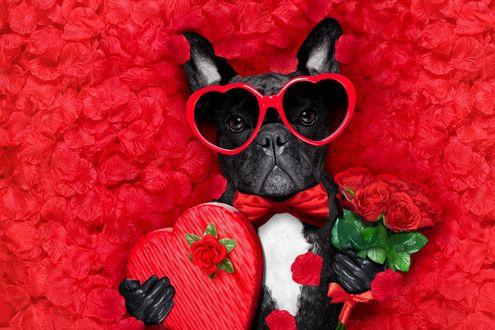 Конкурсная работа Французский бульдог в очках в виде сердец с коробкой конфет и букетом красных роз среди лепестков