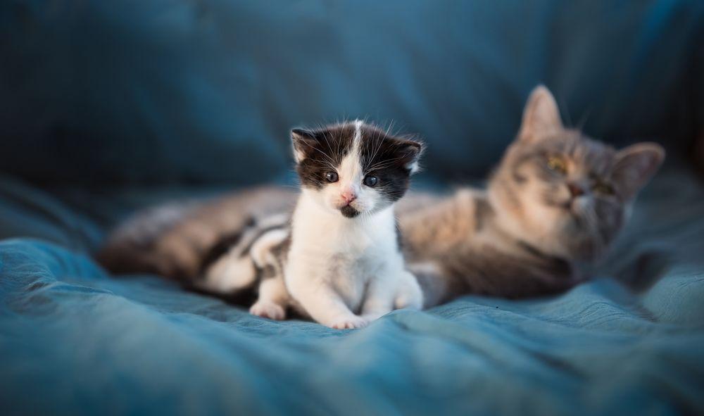 Обои для рабочего стола Кошка с котенком
