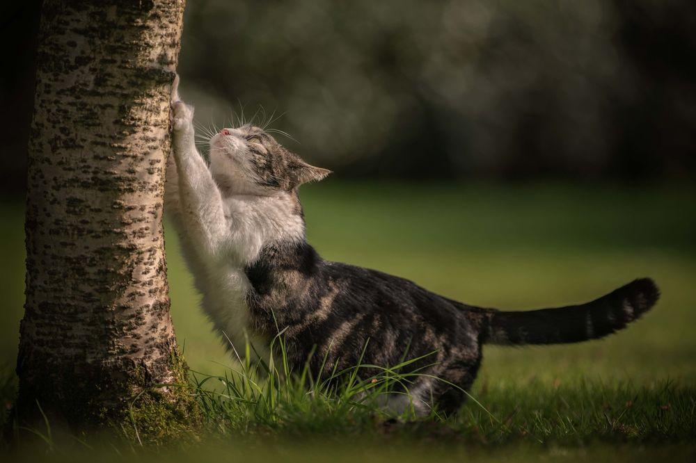 Обои для рабочего стола Кошка точит когти об дерево, фотограф Christine Johnson