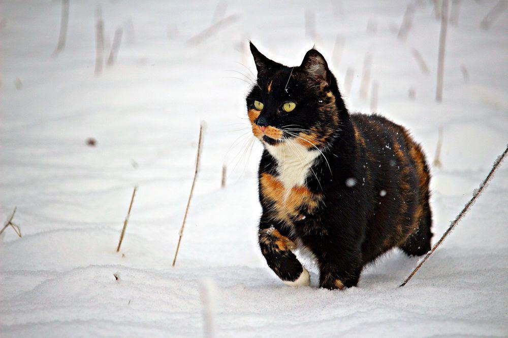 Обои для рабочего стола Трехшерстная кошка стоит на снегу, by rihaij