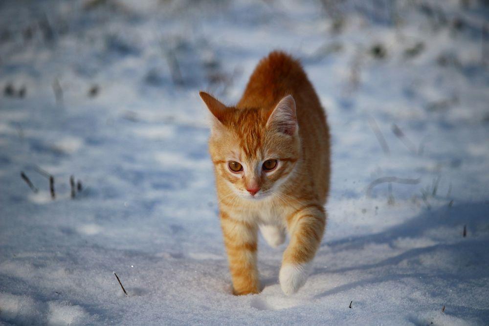 Обои для рабочего стола Рыжая кошка идет по снегу, by rihaij