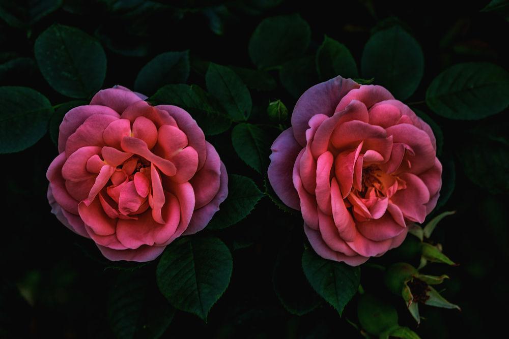 Обои для рабочего стола Розовые розы, by Anders Wаtterstam
