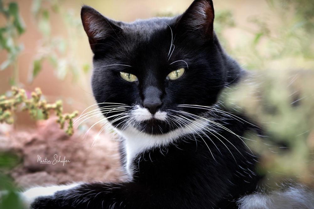 Обои для рабочего стола Черный кот в траве, фотограф Martin Schаfer