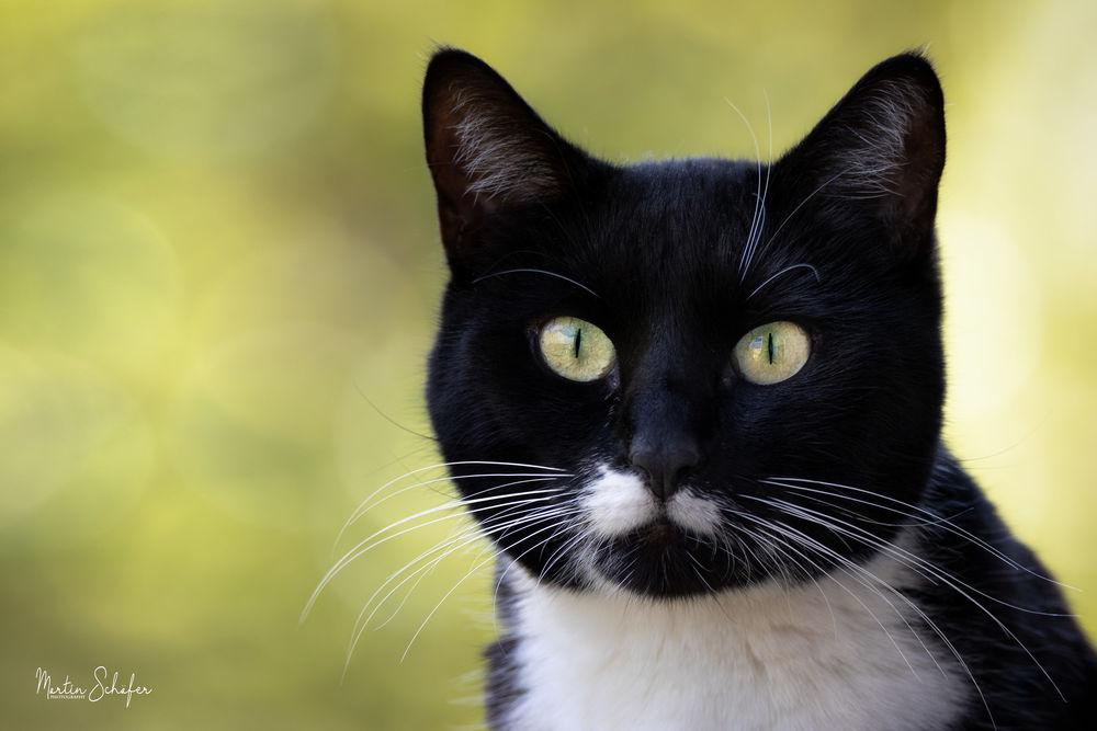 Обои для рабочего стола Черный кот с белой грудкой, фотограф Martin Schаfer